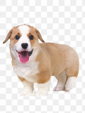 Tongue Puppy - Pembroke Welsh Corgi Puppy Cat Pet Sitting Kitten PNG
