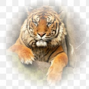 Tiger - Tiger Lion Whiskers Animal Big Cat PNG