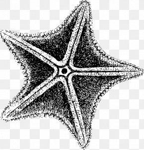 Sea Star - Starfish Invertebrate Clip Art PNG