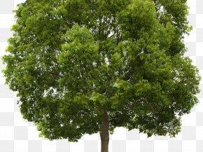 Tree - Transparency Tree Populus Nigra Clip Art PNG