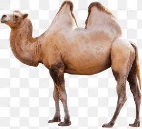 Camel Image - Dromedary Bactrian Camel PNG
