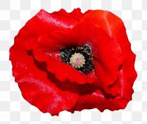 Poppy Flower - Poppy Flowers PNG