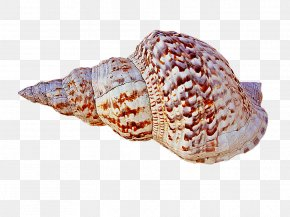 Conch - Cockle Seashell Conchology Shankha Food PNG