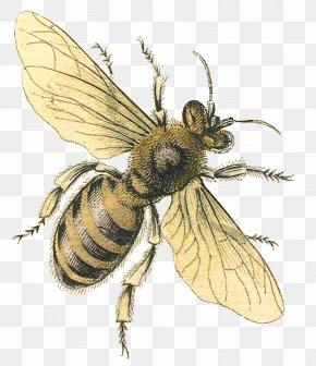 Honey Bee - Western Honey Bee Queen Bee Bumblebee Clip Art PNG