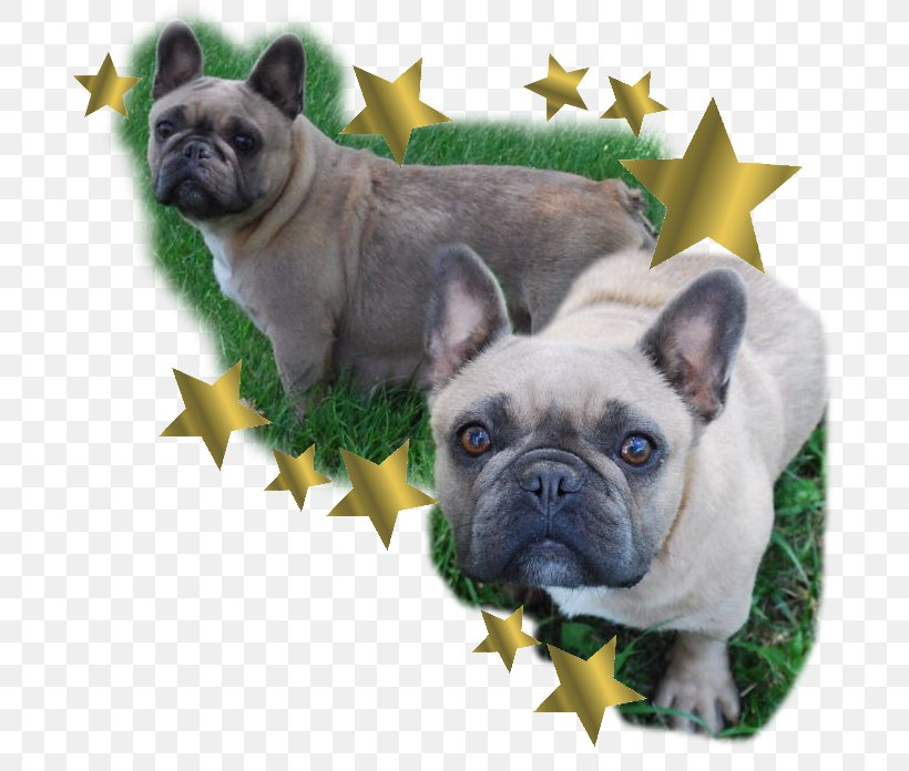 Toy Bulldog French Bulldog Pug Dog Breed, PNG, 698x696px, Toy Bulldog, Bernese Mountain Dog, Breed, Bulldog, Carnivoran Download Free