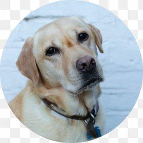 Lucky Dog - Labrador Retriever Golden Retriever Puppy Dog Breed Companion Dog PNG