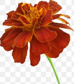Orange Flowers - Mexican Marigold Clip Art PNG