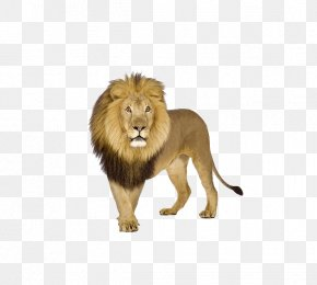 Domineering Male Lion - Lion Tiger Stock.xchng PNG