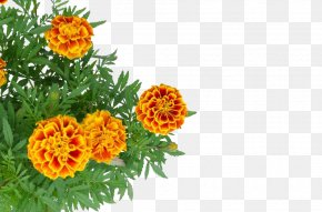 Chrysanthemum Decoration - Mexican Marigold Stock Photography PNG