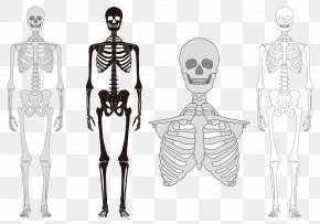 Human Body Model - Human Skeleton Bone Vertebral Column PNG