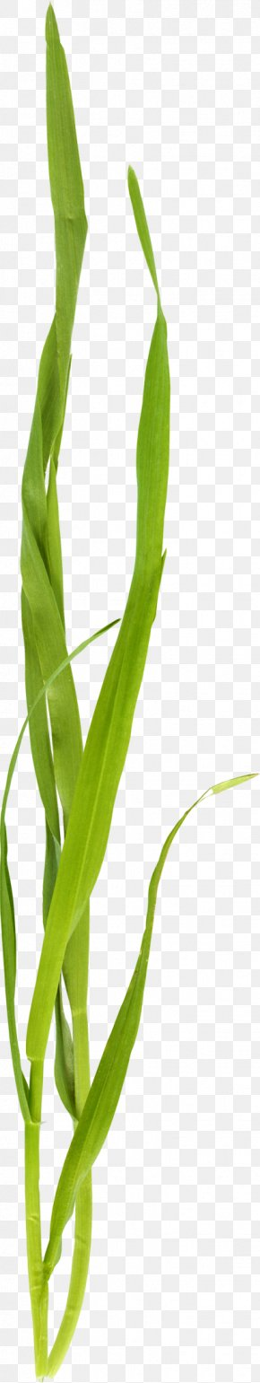 Beautiful Green Grass - Leaf Insect Grasses Plant Stem Close-up PNG