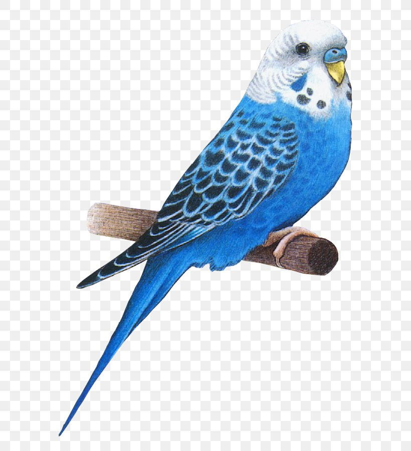 Bird Animation Parakeet Budgerigar, PNG, 700x900px, Bird, Animation, Beak, Blog, Budgerigar Download Free