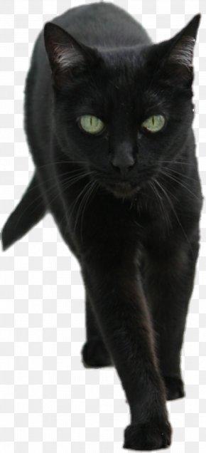 Black Cat - Korat European Shorthair Black Cat Felidae Mammal PNG