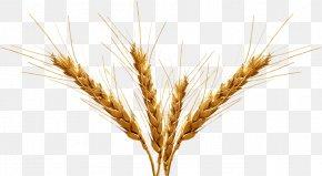 Barley Transparent Image - Beer Emmer Malt Barley Cereal PNG