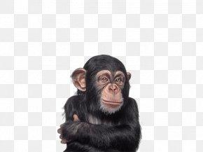 Gorilla - Baby Chimpanzee Gorilla Primate Monkey PNG