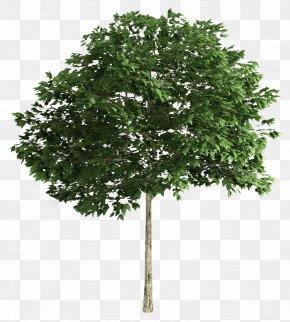 Tree Plan - Tree Clip Art PNG