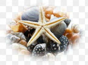 Seashell - Sea Urchin Seashell Mollusc Shell Make It To The Top PNG
