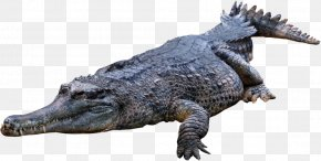 Crocodile, Gator - Crocodile Clip Art PNG