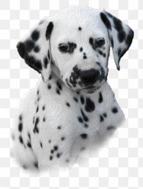 Dalmatian Dog - Dalmatian Dog Puppy Dog Breed Companion Dog Non-sporting Group PNG