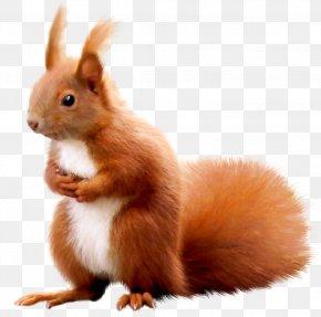 Squirrel - Squirrel Animal Surprise Domestic Rabbit PNG