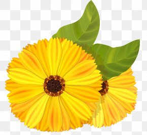 Marigold Illustrator HD Picture - Mexican Marigold Flower Stock Illustration Calendula Officinalis PNG