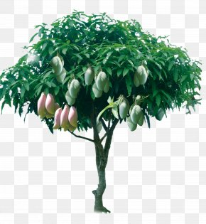 Fruitful Mango Tree - Tree Mango PNG