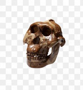 Withered Skeleton - Skull Bone Peking Man Homo Sapiens Skeleton PNG