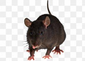 Mouse, Rat Image - Brown Rat Rodent Black Rat Pest Control House Mouse PNG