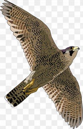 Falcon Free Download - Hawk Peregrine Falcon Eagle Fauna PNG