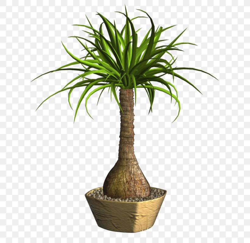 Arecaceae Lucky Bamboo Tropical Woody Bamboos Ponytail Palm ... on palm christmas, palm rats, palm vector, palm chamaedorea seifrizii, palm shoot, palm bamboo, palm leaf chickee, palm roses, palm drawing, palm flowers, palm seeds, palm beetle, palm shrubs, palm bonsai, palm trees, palm leaf cut out, palm tr, palm diagram, palm pattern, palm border,
