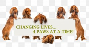 Dachshund Dog - Irish Setter Sussex Spaniel Dachshund Dog Breed Companion Dog PNG