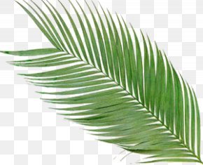 Leaf Summer - Arecaceae Frond Palm Branch Clip Art PNG
