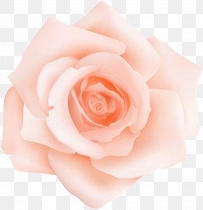 Peach Rose Transparent Clip Art - Garden Roses Centifolia Roses Pink Petal Flower PNG