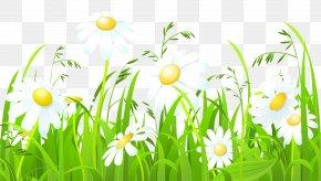 Chamomile - Common Daisy Clip Art PNG