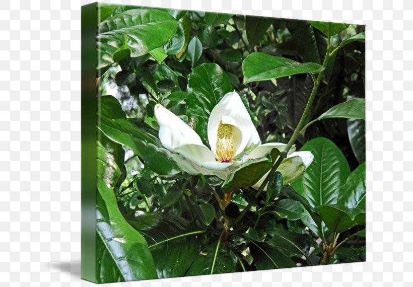 Tea Plant Camellia Sinensis Flower, PNG, 650x570px, Tea, Camellia Sinensis, Flower, Plant, Tea Plant Download Free