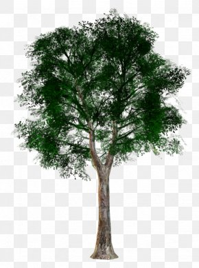 Tree - Tree Woody Plant Trunk Branch PNG