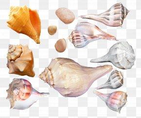 Seashell - Seashell Cockle Sea Snail Conchology PNG