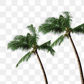 Coconut Tree - Coconut Tree Arecaceae PNG