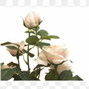 Rose Pot - Garden Roses Cabbage Rose Floribunda Cut Flowers Petal PNG