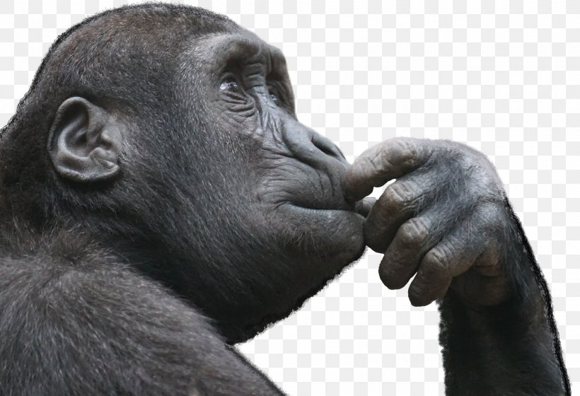 Ape Primate Thought Monkey Critical Thinking, PNG, 1920x1313px, Ape, Chimpanzee, Common Chimpanzee, Critical Thinking, Criticism Download Free