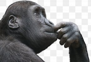 Gorilla - Ape Primate Thought Monkey Critical Thinking PNG