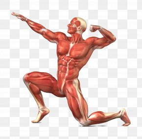 Human Body - Muscular System Skeletal Muscle Human Body Human Skeleton PNG
