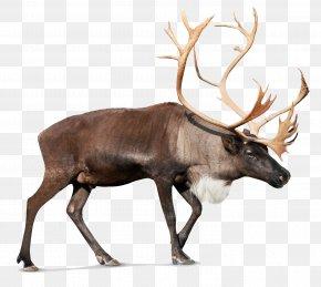 Reindeer Photos - Reindeer Rudolph Santa Claus PNG