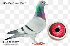 Racing Pigeon - Columbidae Homing Pigeon Pigeon Racing Olympic Games Olympiad PNG