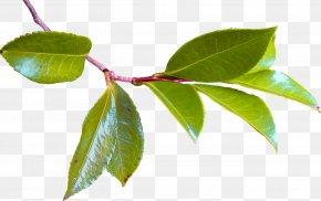 Leaf - Twig Leaf Tree Plant Stem Branch PNG