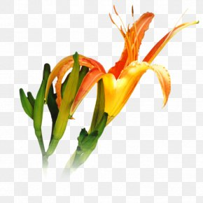 Pedicel Daylily - Lily Flower Cartoon PNG