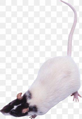 Mouse, Rat Image - Rat Computer Mouse PhotoScape PNG