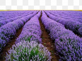 Lavender Field - English Lavender Seed Flower Herb Plant PNG