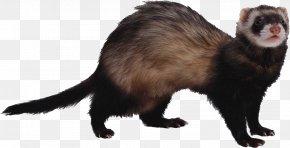 Ferret - Ferret Health Veterinarian Exotic Pet PNG