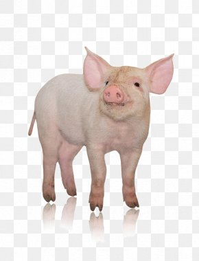 The Head Of The Pig - Danish Landrace Pig Photography Pork Livestock PNG